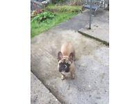 French bulldog bitch 5 half months