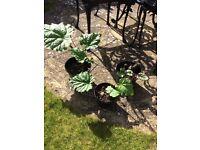 Rhubarb plants £3 & £5 each
