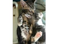 Grey Tabby Kittens Abyssinian x British Blue