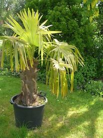 Beautiful trachycarpus tropical palm plant in pot