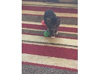 7 week old girl kitten