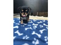 REDUCED PRICE! 8 week old male miniature chihuahua puppy CALL NOW FOR OFFERS!