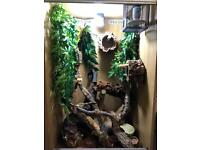 Crested gecko breeding trio and setup