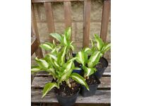 Stunning Variegated Hosta Plant green and white leaves