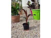 Red Banana 'Ensete Maurelii'banana plant.