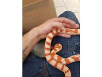 3 snakes for sale
