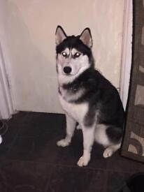 Husky 1 year old