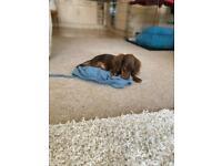 Miniature dachshund male