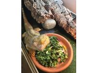 3 male and 3 female bearded dragons for sale