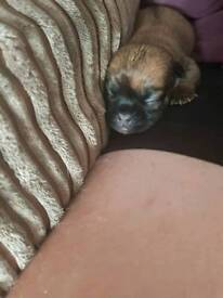 Chugs. Pug/Chihuahua