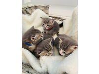 British shorthair tabby grey/blue kittens