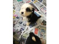 old English sheepdog puppies boy and girls available