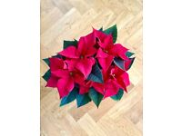 Gorgeous red poinsettias - perfect for Christmas