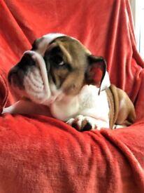 British Bulldog (female)