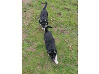 German Shepherd x husky puppies