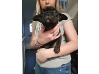 KC Reg Pedigree French Bulldog bitch for sale 7 weeks (Available from 13th April).