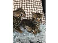Rossetted Bengal Kittens