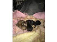 I have. Two boys left one Black and Tan and one tan will be ready end of March