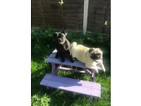 2 year old pug for rehoming