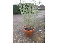 Olive Tree - Mature (170cm high)