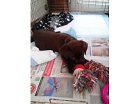 Pedigree KC Registered Female Chocolate Labrador