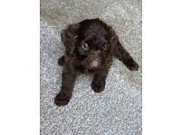 Miniature F2 cockapoo puppies health tested