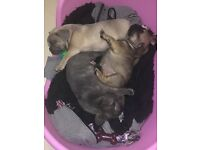 kc reg 1 female 2 male frenchies lilac,tan,blue no pied or brindle