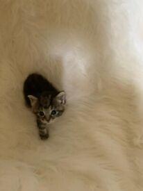 50% Ragdoll Kittens