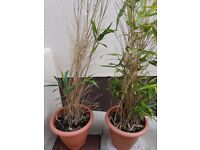 2x Large bamboo plants in large pots