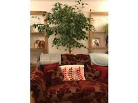 Large 260cm ficus tree indoor houseplant