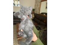 Ragdoll cross British shorthair now sold sold sold