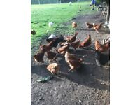 Point of lay pullets