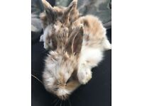 Gorgeous fluffy rabbits for sale