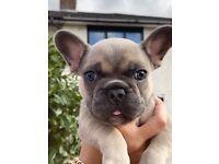 French bulldog puppy kc reg