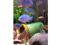 Malawi Cichlids, fish for sale 3-4 cm long. Healthy and eating well