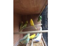 Beautiful Budgies from 8 weeks to 1 year old, 2 new unused cage for extra cost