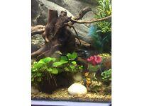 Swordtail fry tropical fish