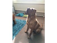 6 y/o Shar Pei - MUST GO TO GOOD HOME!
