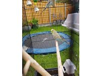 two 4 months old budgies with cage and accessories