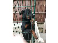 9 month old male Rottweiler