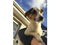 6 month old Jack Russell Female needs new home