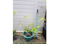 Tall bamboo plant