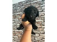 Toy/ miniature poodle puppies