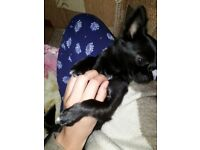 Black tiny chihuahua dog