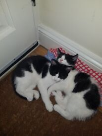 Two adorable kittens for sale... both females. 13 weeks old. Used to kids household.