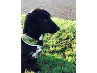 Puppy for sale-springer spaniel