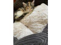 Kitten- Rare Breed- Super Cute- Ready to go