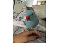 Blue Indian ring neck for sale