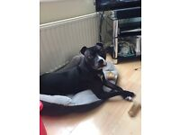 5year staffie free to loving home