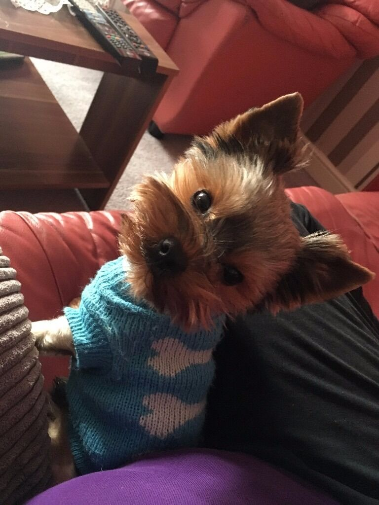 Yorkshire terrier 2Years old